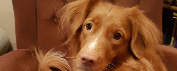 Seren the famous Wiltshire toller